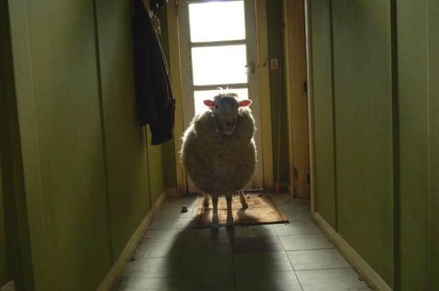 black-sheep-black-sheep-19-03-2008-29-03-2007-7-g